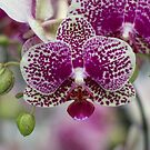 Orchid by Karen Havenaar