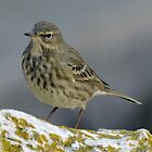 Rock Pipit  2012-12-09  Lyme , Dorset by lynn carter