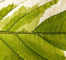Super macro leaf variegata  by Rex666
