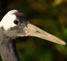 Red-crowned Crane / Chinese Kraanvogel by Jacqueline van Zetten