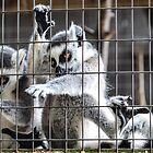 Lemurs by Nancy Aranda