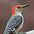 Red Bellied Woodpecker by barnsis