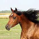 Running Arabian Horse by Johnny Furlotte