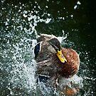 Mallard: Green Water, Splash by Skye Hohmann