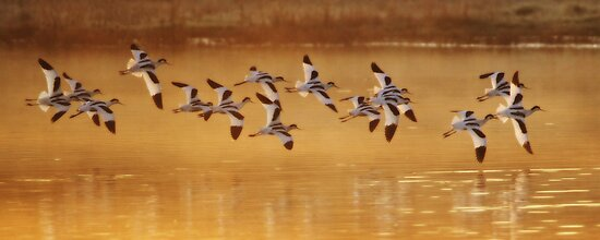 Avocets - Orton Effect by Neil Bygrave (NATURELENS)