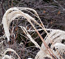 Pampas Grass After Freezing Rain by goddarb