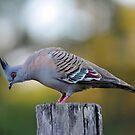 Crested Pigeon. Cedar Creek, Queensland, Australia. by Ralph de Zilva