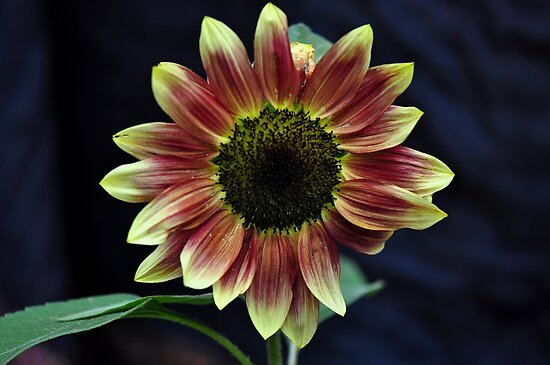 Burnt Sunflower by natureloving