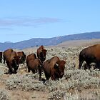 American Bison - Yellowstone by David Clark