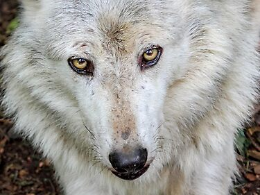 Wolf Eyes by Mark Hughes