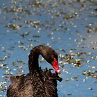 Black Swan by srhayward