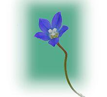 Australian Bluebell by pcbermagui