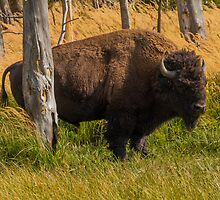 Bison In Yellowstone National Park USA,Sept 2012 by Rose Vanderstap