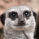 Meerkat Face by Steve Purnell