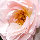 Pink Rose, VIC, Australia by LizSB