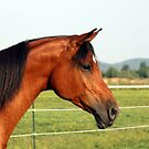 Arabian Horse by Johnny Furlotte