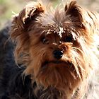 Yorkshire Terrier by Johnny Furlotte