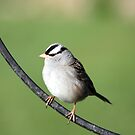 White Crowned Sparrow by Johnny Furlotte