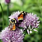 Orange-belted Bumblebees. by Johnny Furlotte