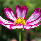 "Cosmos ""Candy stripe"" by LizSB"