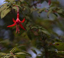 Fuchsia magellanica / Chilco by bcapture