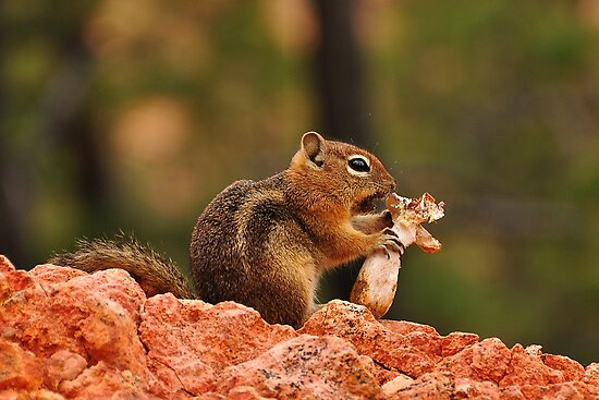 Chipmunk eats a big mushroom by jul-b
