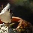 Tufted Titmouse on Window Ledge by Bine