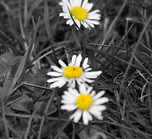 Daisies by mps2000