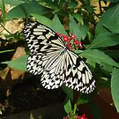Butterfly in Okinawa by Heather Conley