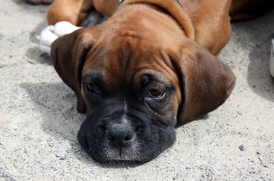 Boxer Dog by Johnny Furlotte
