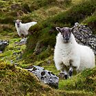 Sheep at Carrowkeel by Deb Snelson