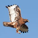 1201122 Red Tailed Hawk by Marvin Collins