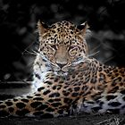 *Leopard* by DeeZ (D L Honeycutt)