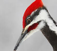 Pileated Woodpecker Portrait by Jim Cumming