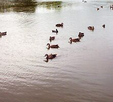 Duck V-Formation - 13 12 12 by Robert Phillips