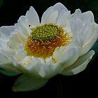 Lotus Petals by Gabrielle  Lees