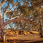 River Red Gums - Stephens Creek by eSWAGMAN