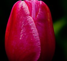 Pink and White Tulip at Tesselaar Tulip Festival by Steven Weeks