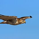 Glider - Red-tailed hawk by Jim Cumming