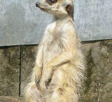 Meerkat Standing by Lucy Wilson