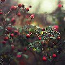 Christmas Berries by Kameron Walsh