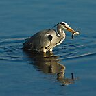 Grey Heron with Fish by Rustyoldtown