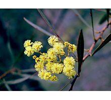 Wattle Blossom Photographic Print