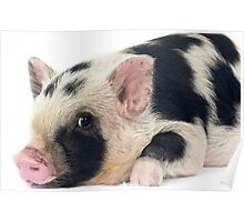 Spotty Micro pig chilling Poster