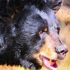 Black Bear closeup by Adam Asar