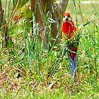 Eastern Rosella  by valdez