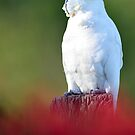 Sulphur Crested Cockatoo. Cedar Creek, Qld, Australia. (3) by Ralph de Zilva