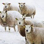 Sheep in snow by flips99