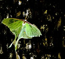 Luna Moth on Tree by Randy & Kay Branham
