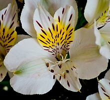 White tiger lily lg by pcfyi